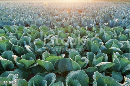 vegetable field in the morning