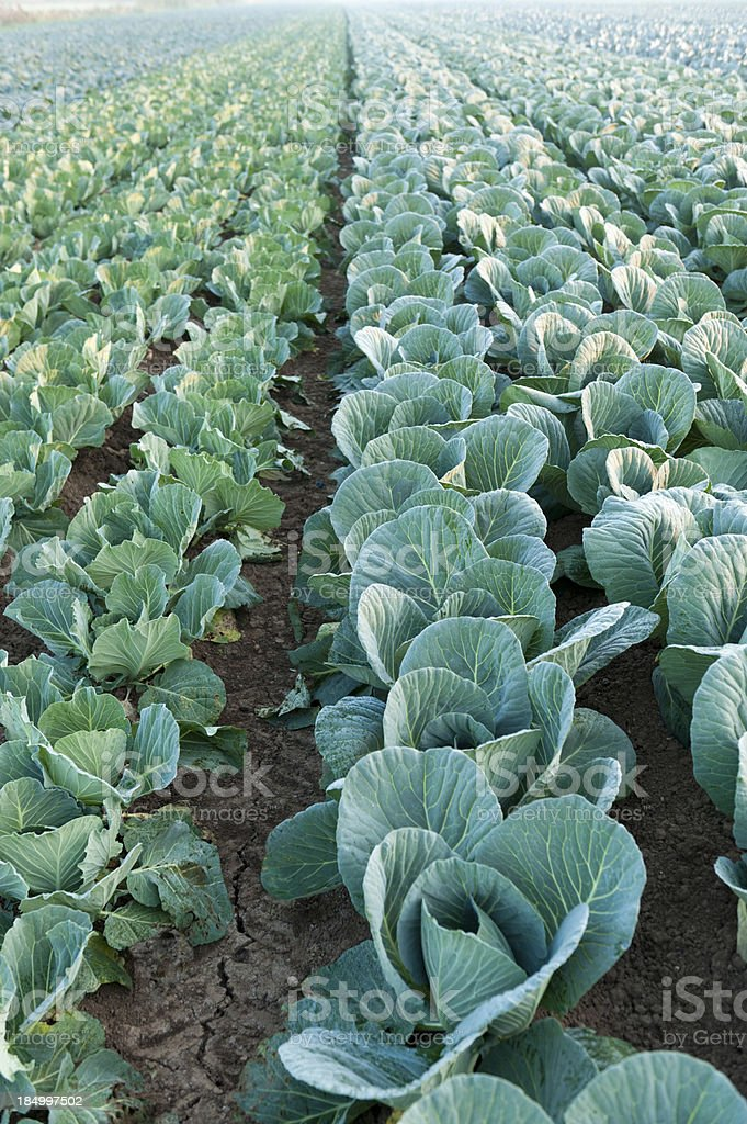 Vegetable cultivation stock photo