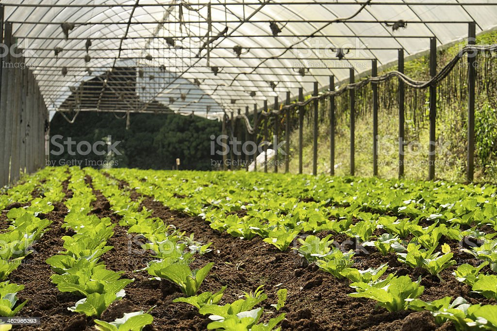 Vegetable cultivation royalty-free stock photo