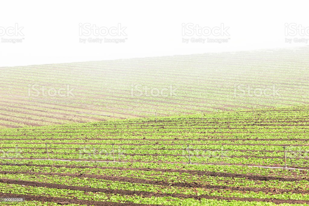 Vegetable Farm Crop Fog Landscape stock photo
