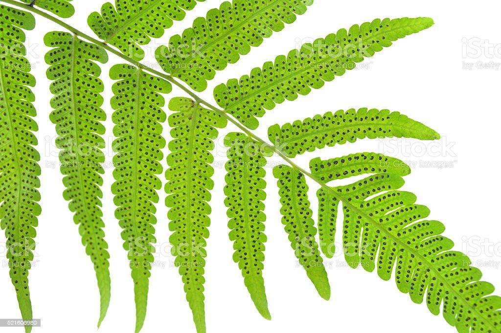 Vegetable fern stock photo