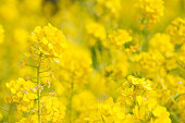 美しい黄色の野菜の花のフィールド