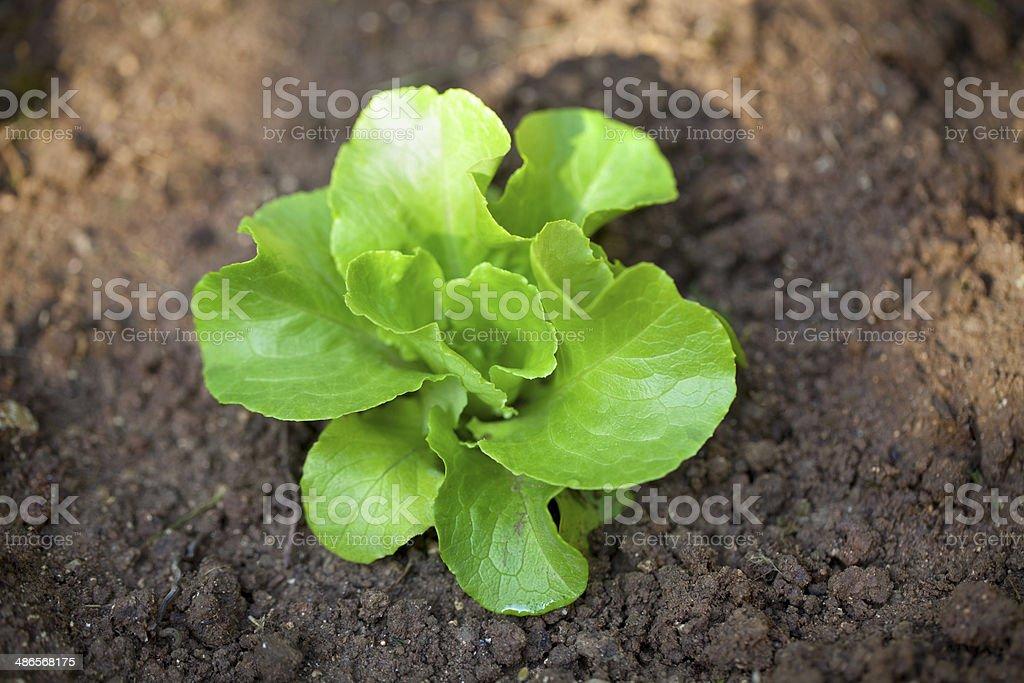Vegetable garden. Green lettuce. royalty-free stock photo