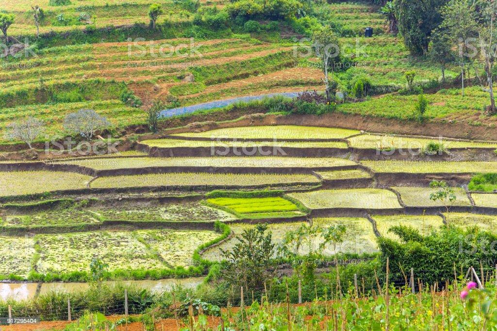 Sistemas De Cultivo De Arroz Complejo De Terrazas De Campos