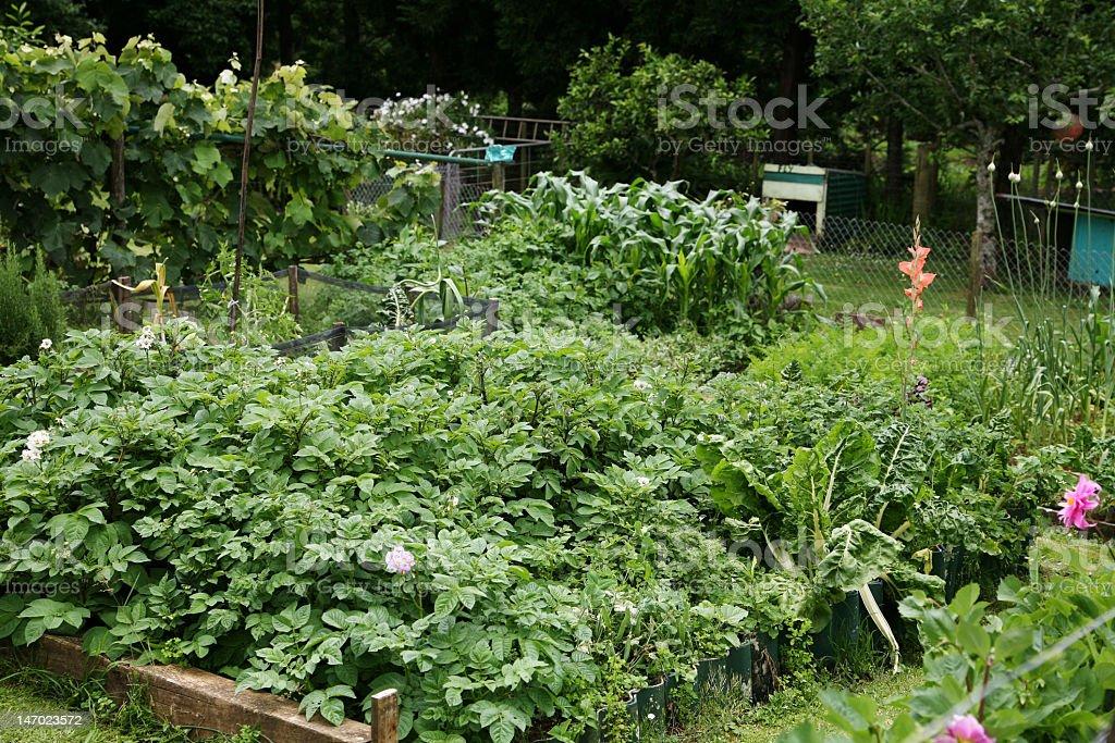 Vegetable garden in the backyard royalty-free stock photo