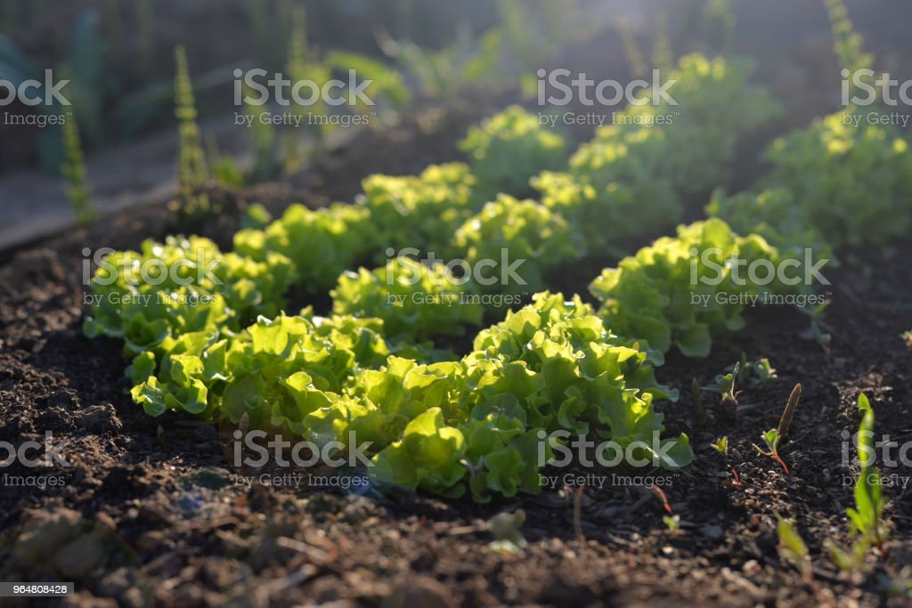 A vegetable garden in the spring. A vegetable garden with fresh herbs. Ridge with salad. royalty-free stock photo