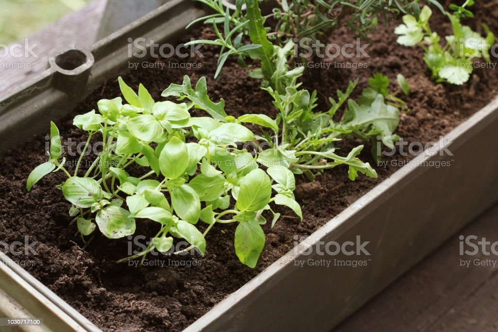 Vegetable garden on a terrace. Herbs seedling growing in container .