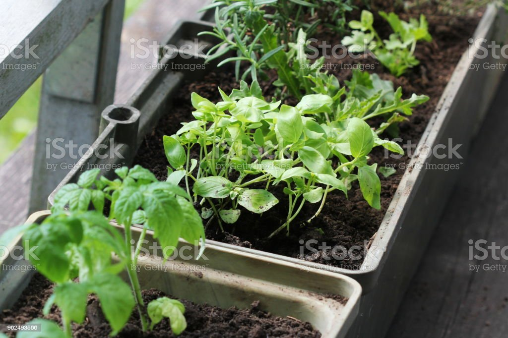 Vegetable garden on a terrace. Herbs, tomatoes seedling growing in container - Royalty-free Agriculture Stock Photo