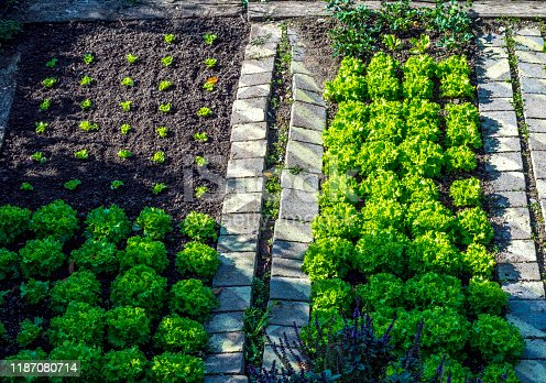 vegetable garden seen from above, with small seedlings of lettuce,