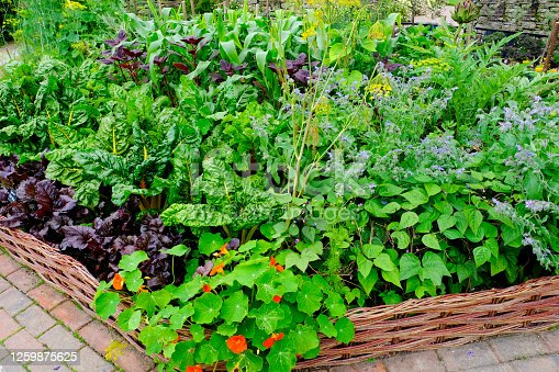 Close-up of an English vegetable garden with chard, lettuce, sweetcorn, borage and artichoke.