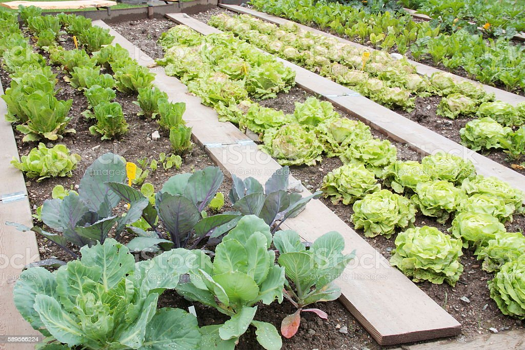 Vegetable garden with lattuce and cabbage stock photo