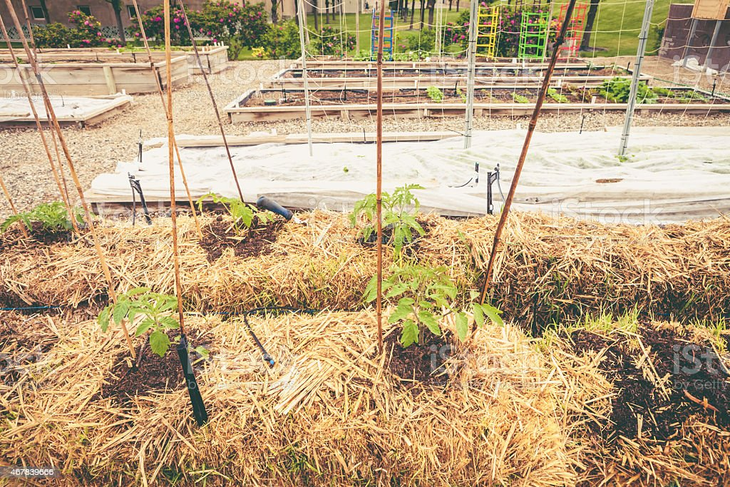 Vegetable Garden with Tomato Plants Growing From Straw Bales stock photo