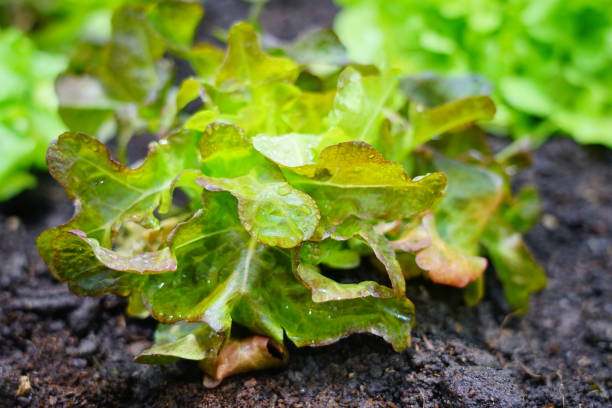 Vegetable Green Lettuce Leaves Lettuce, Drop, Food, Raindrop, Butterhead Lettuce butterhead lettuce stock pictures, royalty-free photos & images