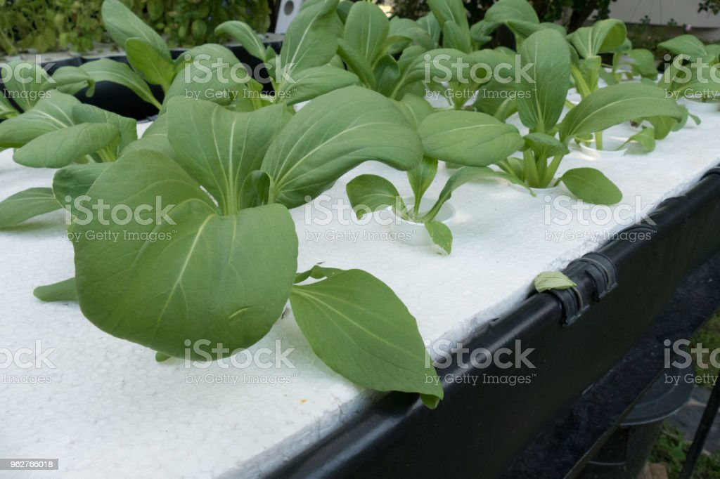 vegetable growing in hydroponics farm with liquid fertilizer solution in water system stock photo