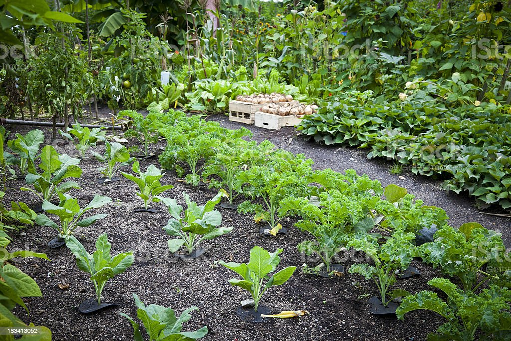 Vegetable patch royalty-free stock photo