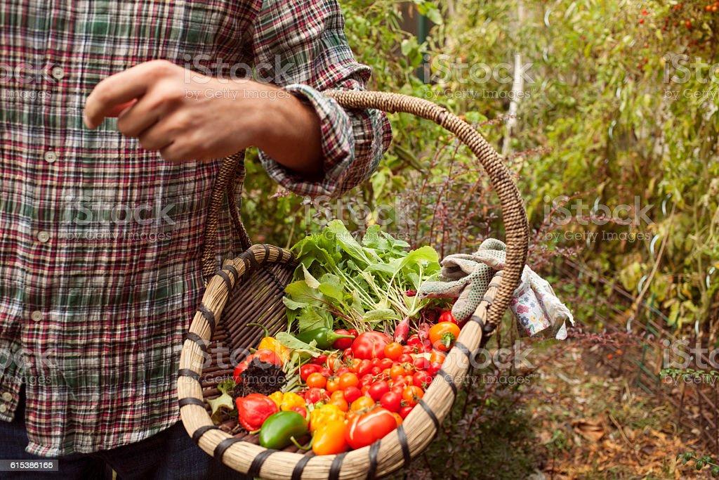 Vegetable picking, fresh vegetables in a basket stock photo