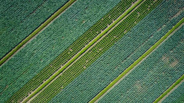plantacja warzyw - widok z lotu ptaka - kapustowate zdjęcia i obrazy z banku zdjęć