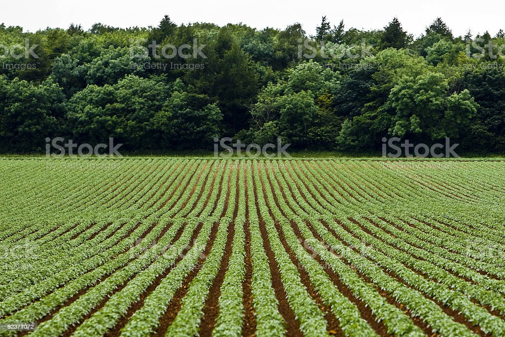 Vegetable rows royalty-free stock photo