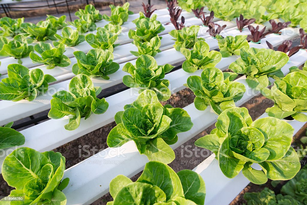 Vegetable salad planted in house plant nursery stock photo
