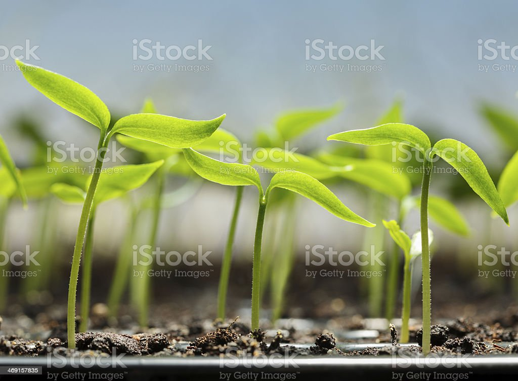 Vegetable sprouts in peat tray stock photo