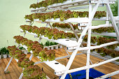 Vegetable varieties were planted by the hydroponic method at a farm in Da Lat town, Vietnam.