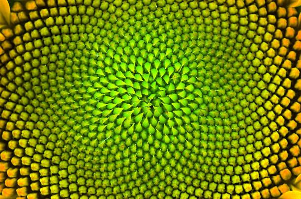 pflanzliche vertigo - sonnenblume stock-fotos und bilder