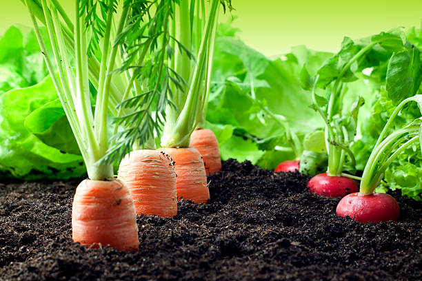 Vegetables carrots and radish growing in the garden stock photo