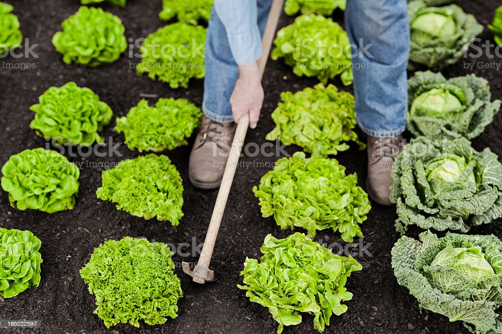 Vegetables cultivation stock photo