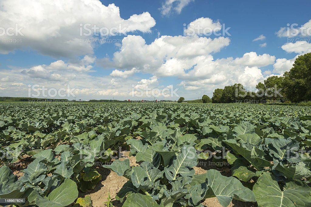 Vegetables growing on a field in summer royalty-free stock photo