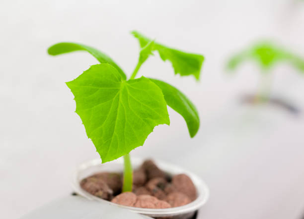 Vegetables hydroponics farm. Hydroponics method of growing plants stock photo