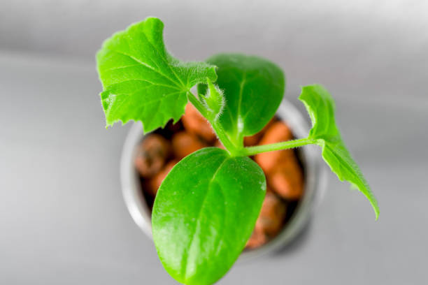 Vegetables hydroponics farm. Hydroponics method of growing plants. stock photo