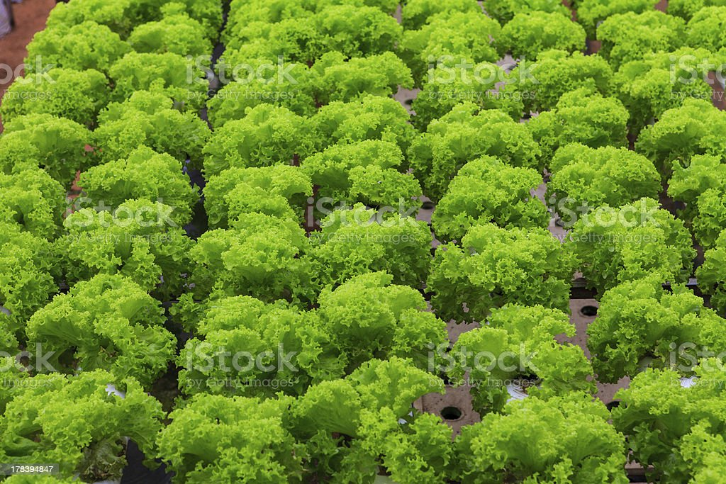 vegetables hydroponics farm royalty-free stock photo