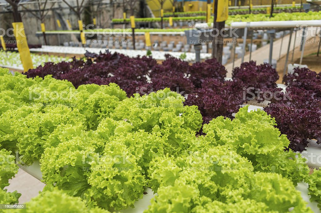 Vegetables hydroponics garden royalty-free stock photo