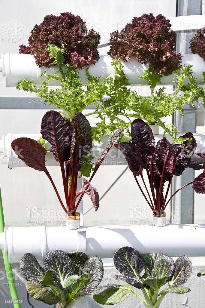 vegetables hydroponics in greenhouses. royalty-free stock photo