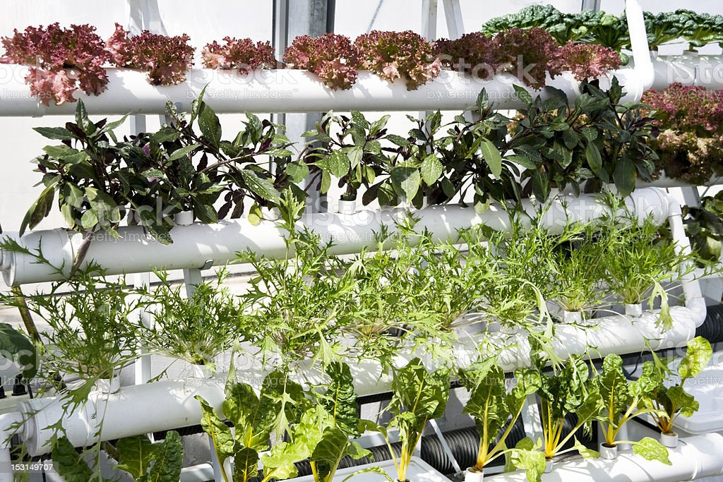 vegetables hydroponics in greenhouses. stock photo