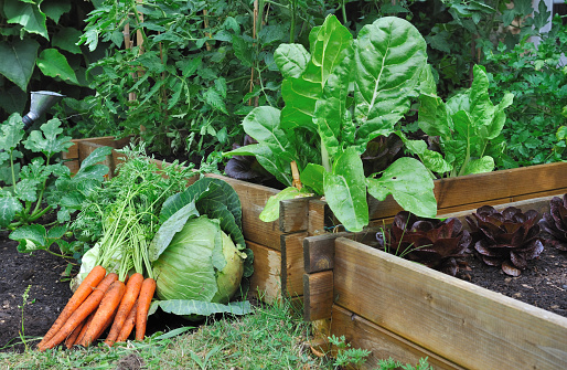 carrots and cabbage on the soil in  a vegetable garden