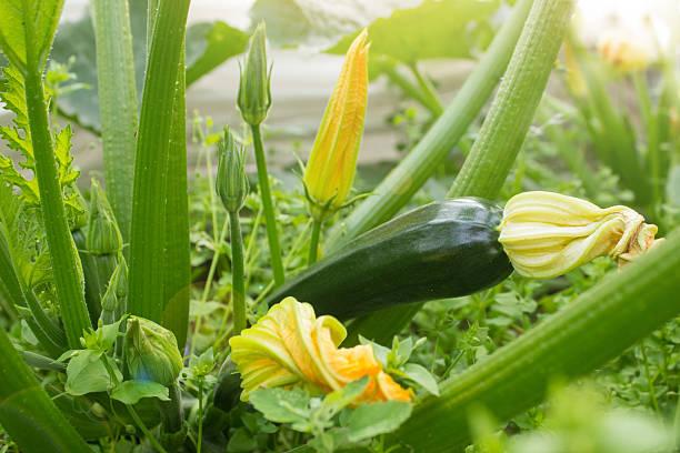 vegetables in the garden - courgette stockfoto's en -beelden