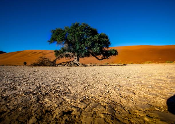 Vegetation in the Namib Desert in Sossusvlei stock photo
