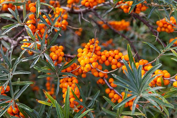 북 해 지역에 있는 식물 - 씨벅턴 뉴스 사진 이미지