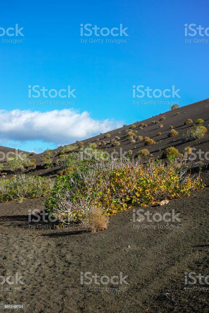 Vegetation on lava rocks, fig fruits riping on fig tree, Timanfaya national park, Lanzarote, Canary Islands, Spain stock photo