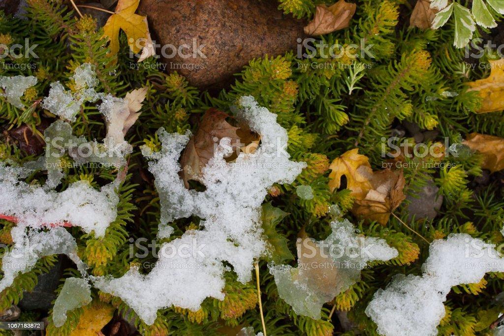 Vegetation poking through snow stock photo