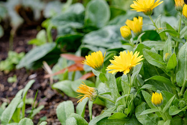 Veggie Garden Daisy Daisies in a vegetable garden apostrophe stock pictures, royalty-free photos & images