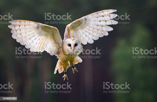 Veil owl in the flight picture id104660080?b=1&k=6&m=104660080&s=612x612&h=dkomi9d7cawgdvdpvodijq0ynj 7vzqarndzvqvf 9c=