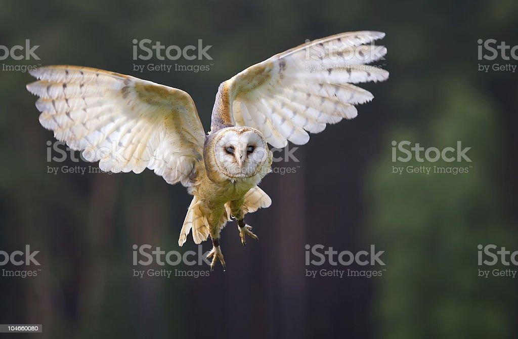 Veil owl in the flight stock photo