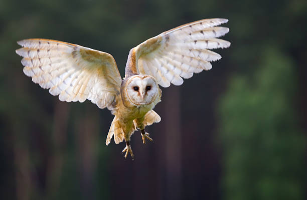 veil owl in the flight - owl stock photos and pictures
