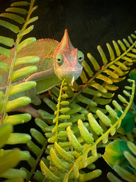 veiled chameleon, Chamaeleo calyptratus stock photo