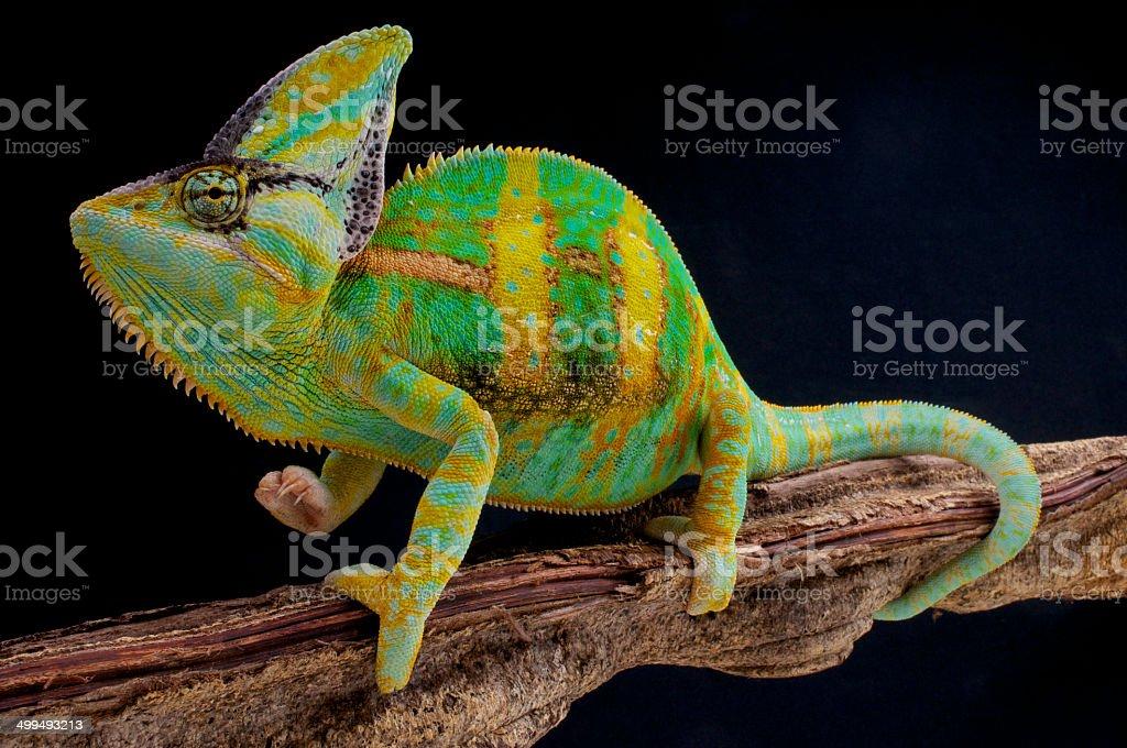 Veiled Chameleon / Chamaeleo calyptratus stock photo
