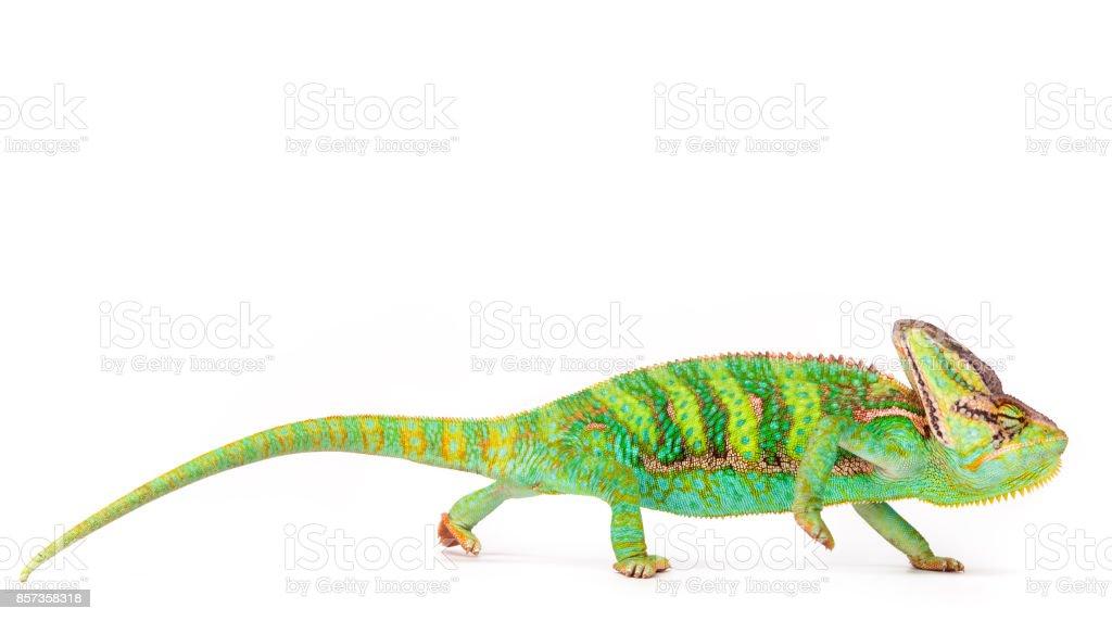 Veiled chameleon (chamaeleo calyptratus) close-up stock photo