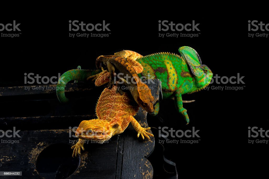 Veiled Chameleon Crested Gecko Bearded Dragon On Black Background