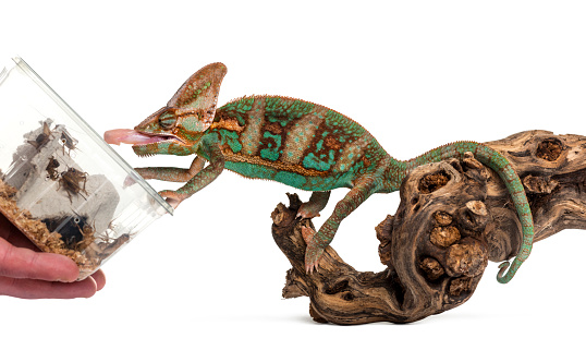 veiled chameleon eating insect, isolated on wite
